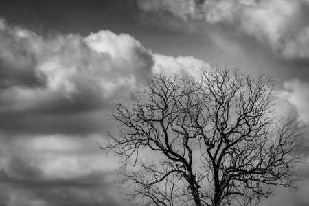 Silhouette dead tree on dark dramatic sky and white clouds background for scary or death. Halloween night. Hopeless, despair,sad and lament concept. Leafless tree in forest. Halloween day background.