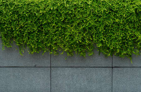 Green leave ivy covered concrete wall texture background. Plant wall for air purifying. Green wall ivy for reduce energy consumption in building. Green leave ivy wall absorption dust for clean air. Stock fotó