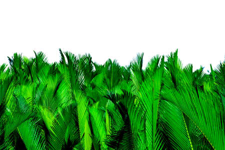 Nypa fruticans Wurmb. Green leaves of palm isolated on white background. Green leaf for decoration in organic products. Tropical plant. Green exotic leaf.