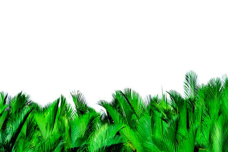 Green leaves of palm isolated on white background. Nypa fruticans Wurmb. Green leaf for decoration in organic products. Tropical plant. Green exotic leaf.