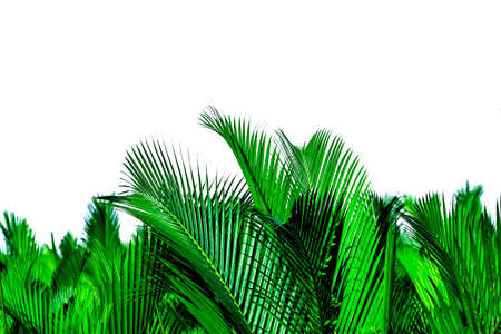 Green leaves of palm isolated on white background. Nypa fruticans Wurmb