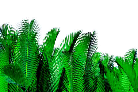 Green leaves of palm isolated on white background. 스톡 콘텐츠