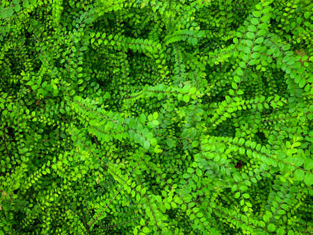 Green leave ivy covered concrete wall texture background. Plant wall for air purifying. Green wall ivy for reduce energy consumption in building. Green leave ivy wall absorption dust for clean air.