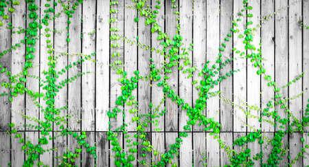 Hiedra verde trepando por la valla de madera. Planta enredadera en la pared de madera gris y blanca de la casa. Vid de hiedra sobre panel de madera. Fondo vintage. Jardín al aire libre. Hojas verdes naturales cubiertas sobre panel de madera.