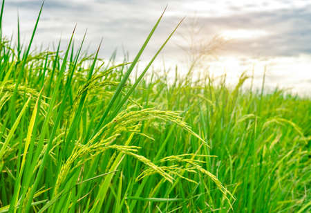 Green rice paddy field. Rice plantation. Organic jasmine rice farm in Asia. Rice growing agriculture. Beautiful nature of farmland. Asian food. Paddy field wait for harvest. Plant cultivation.