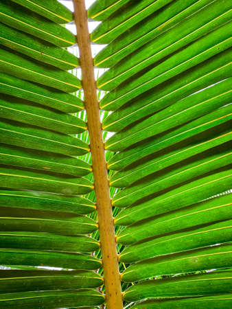 Under coconut leaves and stalk at tropical beach. Closeup palm tree. Coconut leaves pattern. Summer vacation background. Texture green leaf of palm. Tropical environment. Resort decoration.