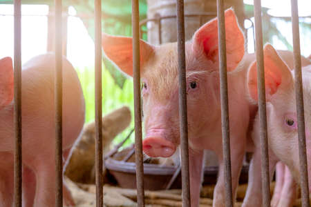Cute piglet in farm. Sad and healthy small pig. Livestock farming. Meat industry. Animal meat market. African swine fever and swine flu concept. Swine breeding. Mammal animal. Pink piglet in pigsty.