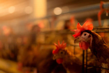 Chicken farm. Egg-laying chicken in cages. Commercial hens poultry farming. Layer hens livestock farm. Intensive poultry farming in close systems. Egg production agriculture. Domesticated birds.