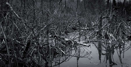 Dead tree in the forest. Flood in the forest. Global warming concept. Global environmental crisis. Death, grief, sad, and hopeless abstract background. Dead tree in forest. Mangrove forest ecosystem.