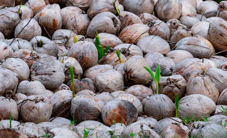 Pile of young coconut plant. Sprout of coconut tree with green leaves emerging from old brown coconut. Planting coconut trees in farm. Seed propagation of tropical palm tree. Exotic tropical tree.