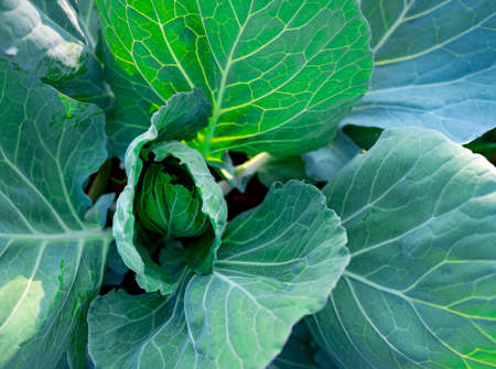 Green leaves of vegetable in garden. Leafy green vegetable. Top view of cabbage growth in farm. Organic vegetable farm. Plant cultivation. Agriculture. Rich source of natural vitamin c and vitamin k.