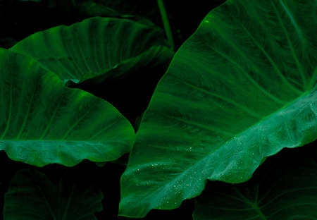Green leaf with rain drop in jungle. Water drop on leaves. Green leaf texture background with minimal pattern. Green leaves in tropical forest on dark background. Greenery wallpaper. Botanical garden. 스톡 콘텐츠 - 146609934