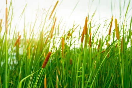 Brown grass flower with green leaves. Grass flower field with morning sunlight. Typha angustifolia field. Cattails on blurred grass field. The stalks are topped with brown, fluffy, sausage-shaped. Stock Photo