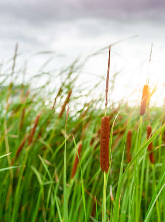 Brown grass flower with green leaves. Grass flower field with morning sunlight. Typha angustifolia field. Cattails on blurred grass field. The stalks are topped with brown, fluffy, sausage-shaped.