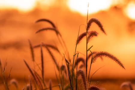 Meadow grass flower with dewdrops in the morning with orange sunrise sky background. Selective focus on grass flower on blur background of yellow and orange sunshine. Grass field with sunrise sky.