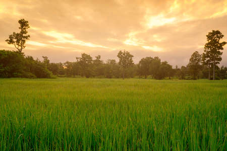 Rice plantation. Green rice paddy field. Organic rice farm in Asia. Rice growing agriculture. Green paddy field. Paddy-sown ricefield cultivation. The landscape of agricultural farm with sunrise sky.