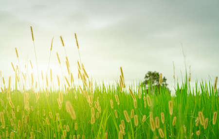 Blurred golden grass flower with cloudy sky in rainy season. Green rice field with grass flower. Rice plantation. Green rice paddy field. Organic rice farm in Asia. Outdoor fresh air. Nature healing. Stock fotó