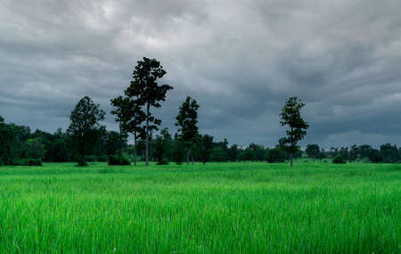 Landscape green rice field and cloudy sky. Rice farm with tropical tree. Agriculture land plot for sale. Farm land. Rice plantation. Organic rice farm. Country view. Carbon credit concept. Rural area.