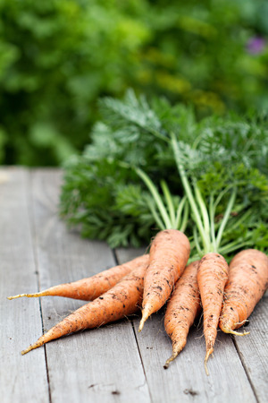 freshly: Freshly harvested carrots with green leaves Stock Photo