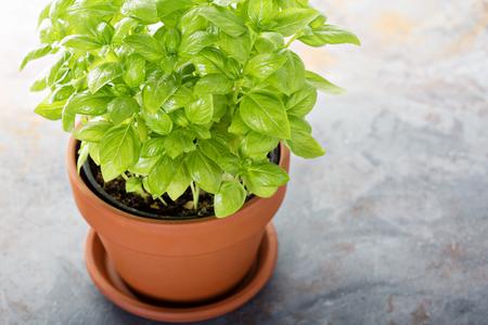 Fresh green basil in a pot, indoor herb garden Stock Photo