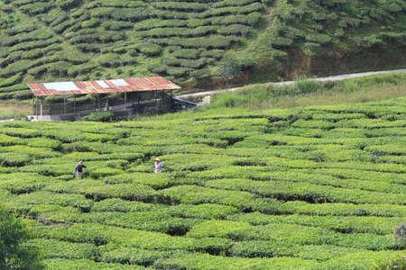 Tea farm at Cameron Highland, Pahang, Malaysia Stock Photo
