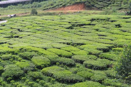 Tea farm at Cameron Highland, Pahang, Malaysia Stock Photo - 99118256