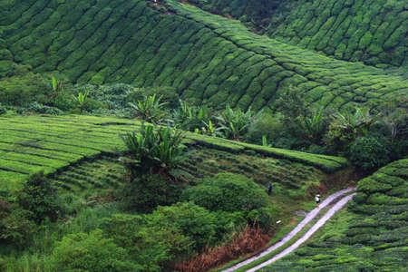 Tea farm at Cameron Highland, Pahang, Malaysia Stock Photo - 99118258