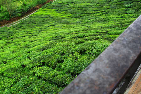 Tea farm at Cameron Highland, Pahang, Malaysia Stock Photo - 99118259