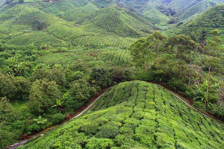Tea farm at Cameron Highland, Pahang, Malaysia Stock Photo - 99118265