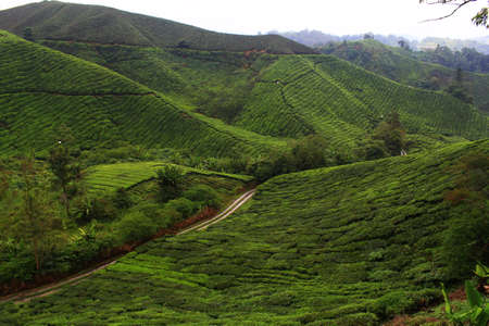 Tea farm at Cameron Highland, Pahang, Malaysia Stock Photo - 99118266
