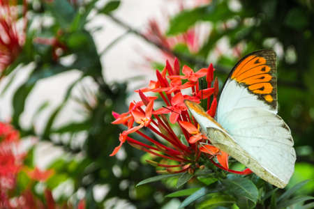Butterfly and Ixora flowers