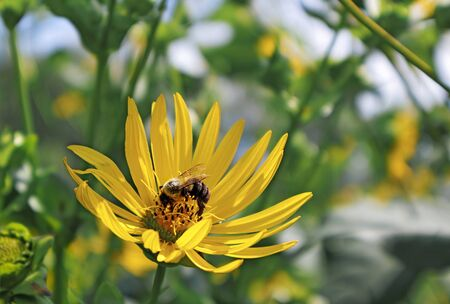 Sunflower with a bee on a warm summer day 版權商用圖片