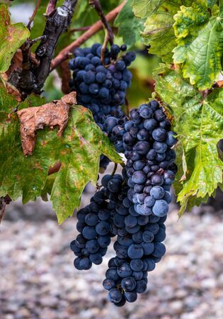 Red grapes on grapevine just before harvesting. La Rioja, Spain