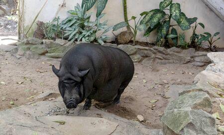 Big Black Pig enjoys her meal