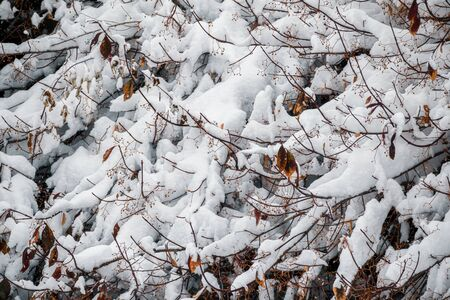 Branches of bushes in the snow on a winter day 版權商用圖片