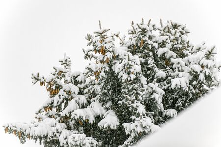 Snowy pine tree on the natural white background, winter landscape, falling snow