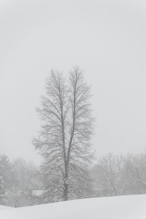 The lonely tree under the snow on a cold foggy day