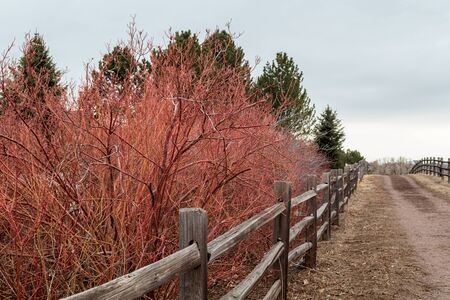 Red bare bushes and a fence on the side of High Line Canal Trail in Greenwood Village, Colorado