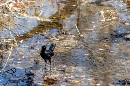 A Male Great-tailed Grackle, Quiscalus mexicanus, wading shallow water of Barr Lake. Barr Lake State Park, Brighton, Colorado 版權商用圖片 - 142428238