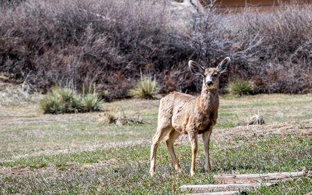 Young deer standing on a front yard in Colorado 版權商用圖片