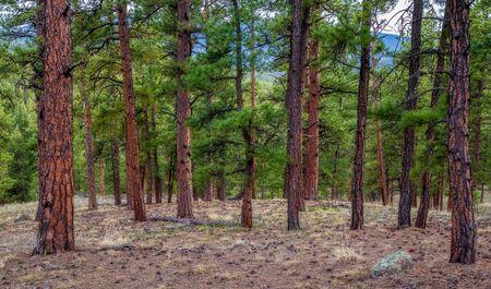 Pine tree forest near Wellington Lake and Buffalo Creek, Colorado, USA 版權商用圖片
