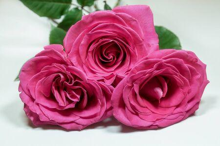 Three pink roses isolated on white background closeup. 版權商用圖片
