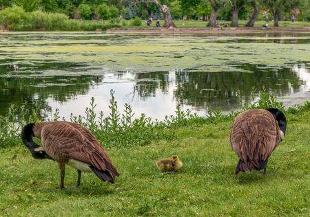 Wild Canadian Geese at Washington Park in Denver, Colorado. 版權商用圖片 - 150021443