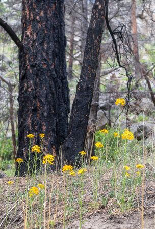 Charred tree and yellow wildflowers in the forest near Brainard Lake, Nederland, Colorado 版權商用圖片 - 149413673
