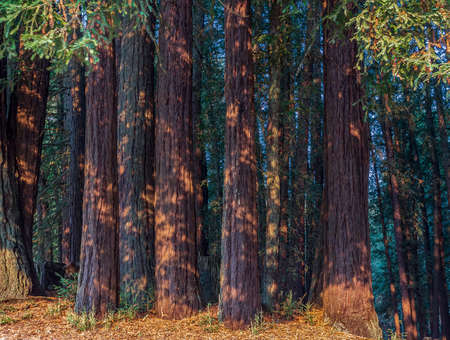 Redwood Forest Landscape in Beautiful Northern California. Mt Madonna County Park near Gilroy, California