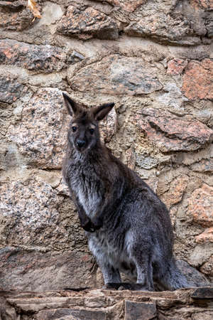Single wallaby kangaroo close up in front of a rock face