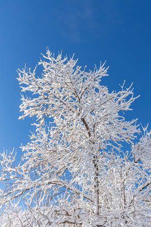Winter view of trees covered by snow on the blue sky