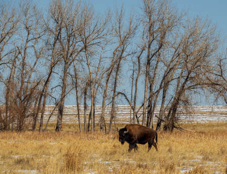 Wild Buffalo at Rocky Mountain Arsenal National Wildlife Refuge, Colorado.