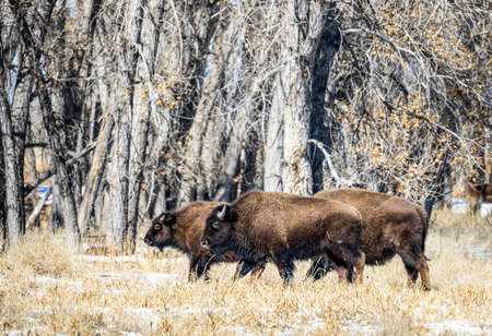 Buffalo herd at Rocky Mountain Arsenal National Wildlife Refuge, Colorado. 版權商用圖片