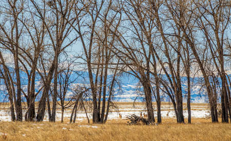 Winter landscape with big naked trees, deer herd, and mountain ridge on the background at Rocky Mountain Arsenal National Wildlife Refuge, Colorado.